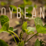 Building Whitetails - Get the Most Out of Your Soybeans