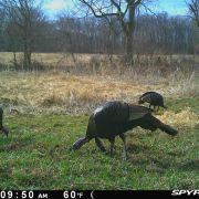 10 Trail Camera Tips for Turkey Hunters